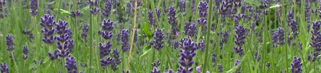 banner lavendel